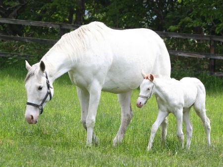 アドマイヤコジーン産駒の白毛馬が誕生   競馬ニュース - netkeiba.com