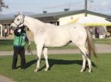 【繁殖馬セール】近親にノームコア、クロノジェネシスがいるプライマリーコードが4180万円で最高価格