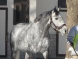 ウインブライトがビッグレッドファーム種牡馬展示会に登場