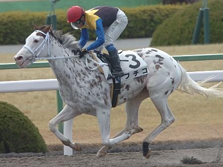 京都4Rの3歳500万下は1番人気ブチコが人気に応えた (c)netkeiba.com